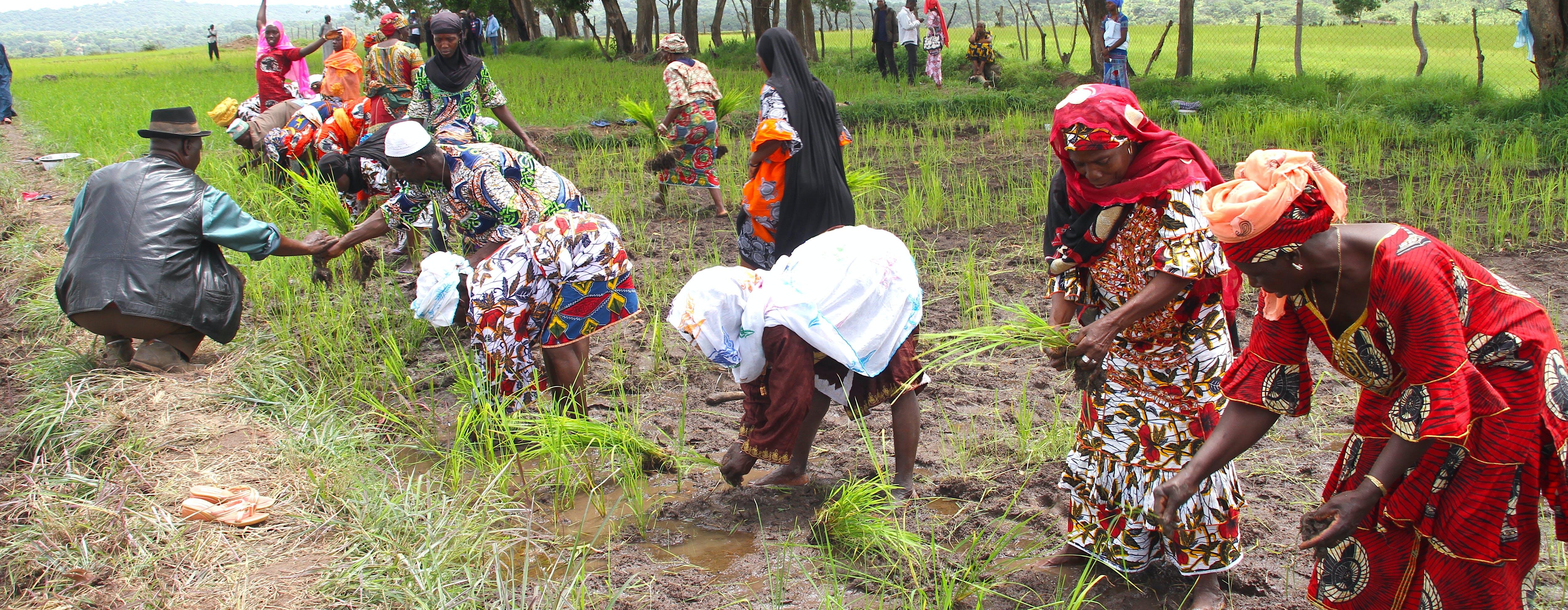10 Nouvelles methodes de cultivation du riz près de Pita Guinée cropped